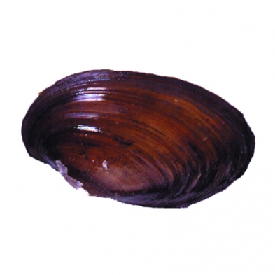 116-0600 Clams, vac pack of 10
