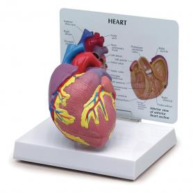 GPI Anatomicals Heart Model