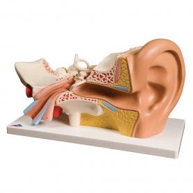 3B Scientific® Ear Model (3x Life Size), 4 Part