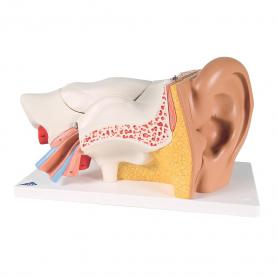 3B Scientific® Ear Model (3x Life Size), 6 Part