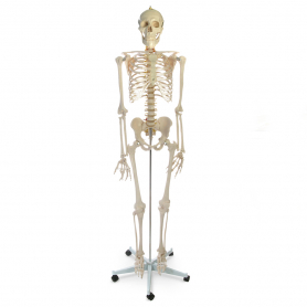 Walter Products Human Skeleton, 5 ft 7 in