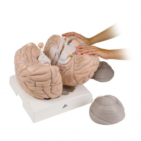 3B Scientific® Giant Brain Model (2.5x Full Size), 14 Part