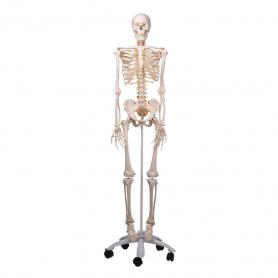 3B Scientific® Flexible Skeleton Model (Fred)