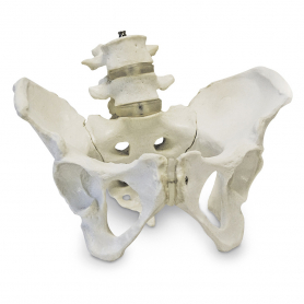 Walter Products Female Pelvic Skeleton