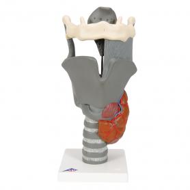 3B Scientific® Functional Larynx Model (2.5x Full Size)