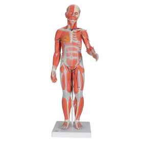 3B Scientific® Half Life-Size Complete Dual Sex Muscle Model, 33 Part
