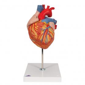 3B Scientific® Heart Model (2x Life Size), 4 Part