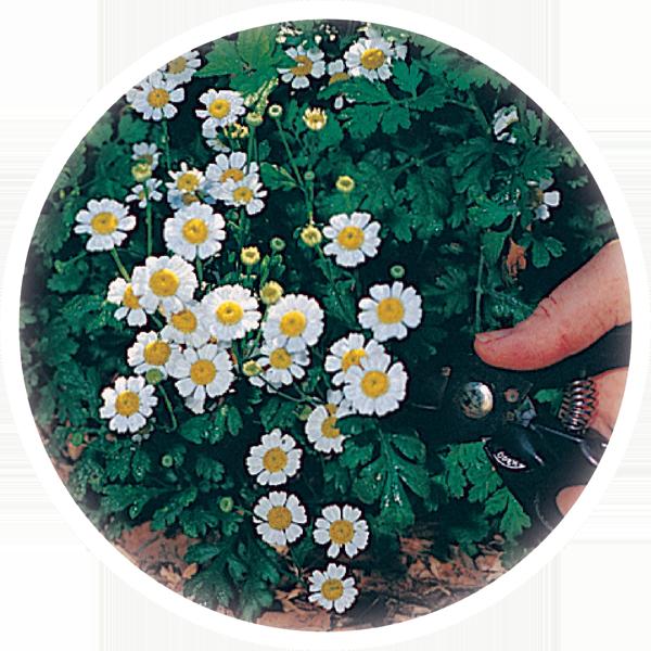 herb image
