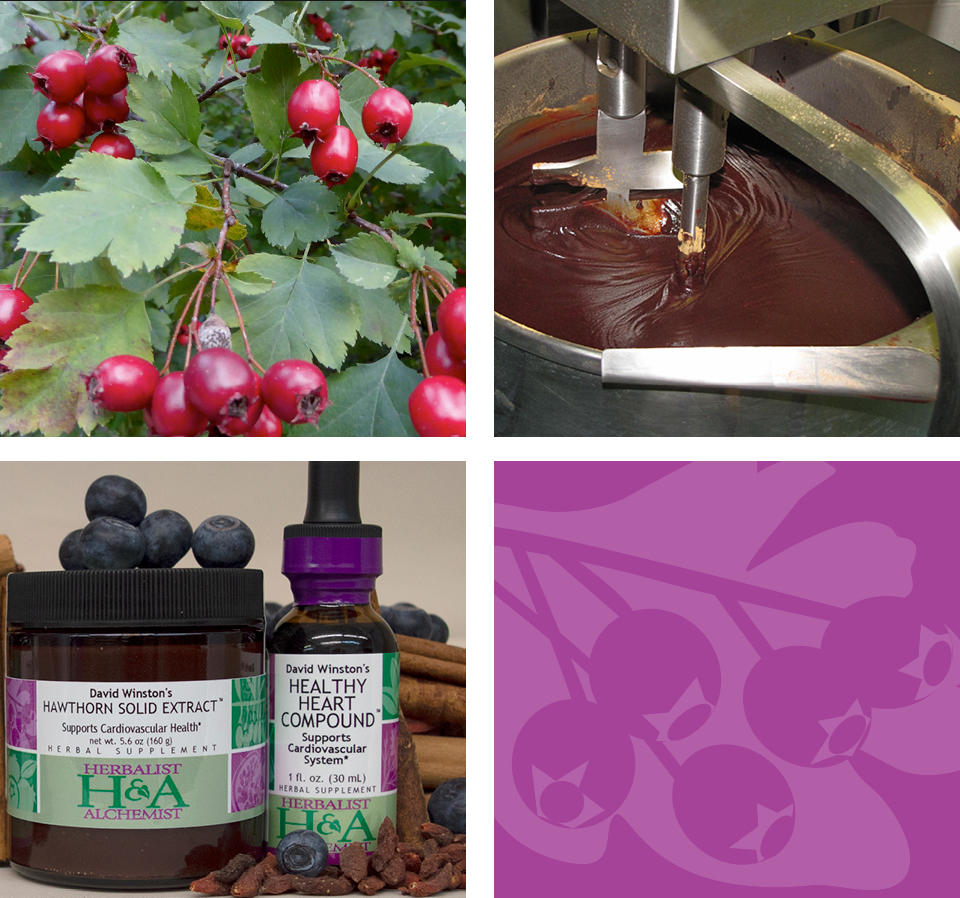 hawthorn berries on tree branch. herbalist and alchemist hawthorn solid extract being made onsite. finished hawthorn solid extract next to hawthorn liquid extract, botanicals surrounding. herbalist and alchemist berry motif